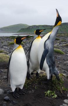 King Penguins in Walrus Bay