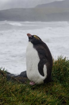 Macaroni penguin at Erratic Point