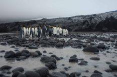 King Penguins at Vahsel Glacier