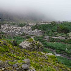 King Penguin Rookery at base of Schmidt Glacier