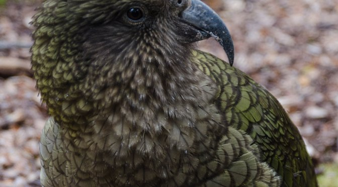NZ Kea, where have they gone?