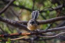 NZ Fantail